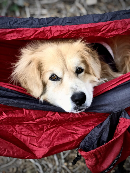 A golden dog rests in a red hammock.